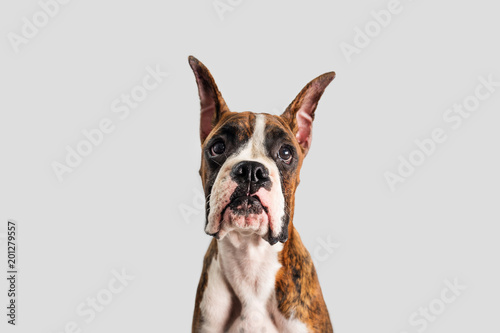 Canvas Franse bulldog Boxer Dog with Cropped Ears