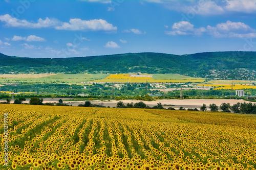 Sunflowers Field in Bulgaria