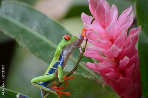 Foto Murales Red-eyed Tree Frog