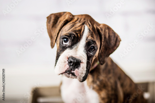 Fototapeta Adorable Boxer Puppy
