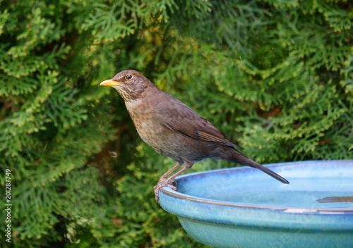 Foto Murales Garten,Gartenvögel,Vogeltränke