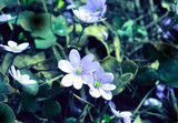 early spring delicate blue flowers, oak forest, natural landscape, nature, wallpaper - 201312944
