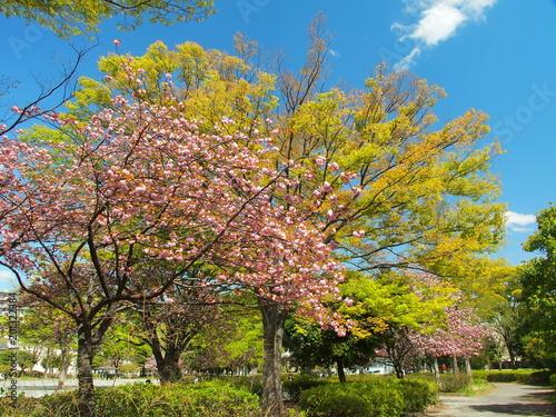 Foto Murales 八重ザクラさく公園風景