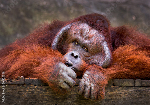 Orangutan relaxing in the natural atmosphere of the zoo.