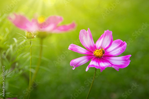 Pink cosmos flowers and bee.