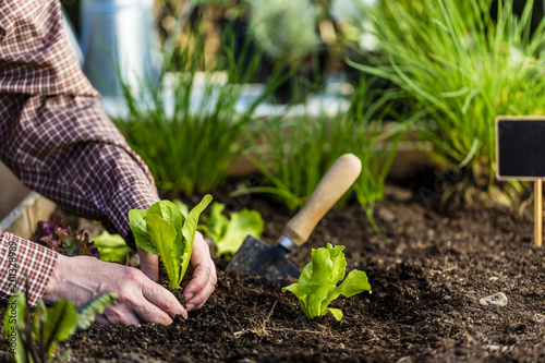 Foto Murales The gardener plants young seedlings in the ground.