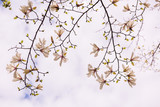 Branches of a blossoming magnolia against the sky.