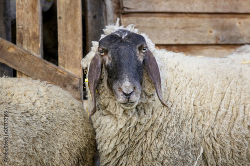 Foto op Canvas Natuur Sheep on the farm