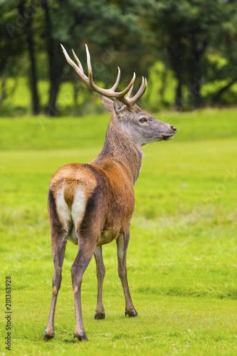 Foto Murales Male Red deer in natural environment on Isle of Arran, Scotland