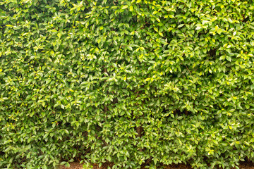 Green leaves wall background, tropical tree