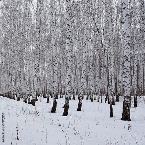 Winter. Birch forest - 201378150