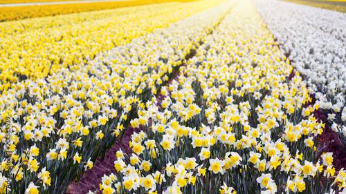 Holenderskie pola kwiatów