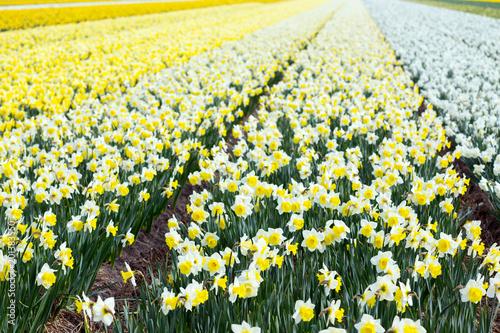 Plexiglas Geel Dutch flower fields