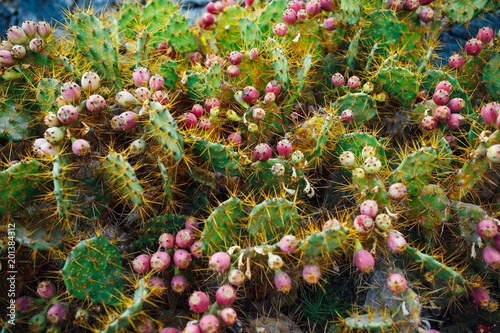 cactus Opuntia with flowers, closeup view - 201384312