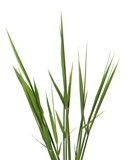 green reed, cane grass Isolated on white background - 201384798