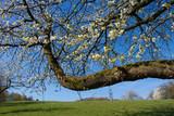 Dicker Ast eines blühenden Kirschbaumes im Frühling in Deutschland - 201386702