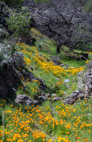 Aluminium Grijze traf. Beautiful mountain landscape with flowers. Blooming narcissus in Tenerife. Teide National Park.