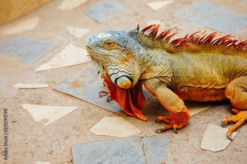 Foto Murales reddish colored green iguana, Tenerife, Spain