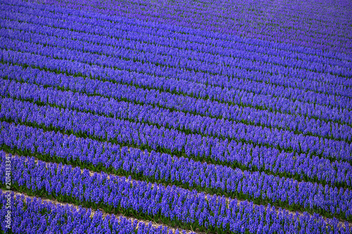 Fotobehang Donkerblauw Dutch flower fields