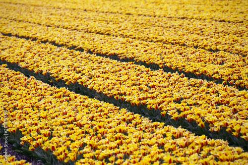 Plexiglas Tulpen Dutch flower fields