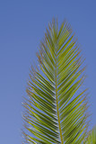 tropical Palm leaf with blue background