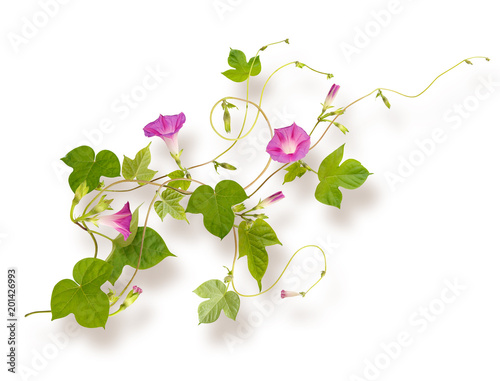 Isolated flower of Convolvulus or bindweed. Creeping plant blooming with purple flowers