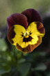 Brown-yellow flower of violet.