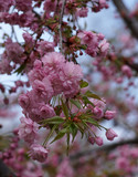 Sakura blossom tree - 201454546