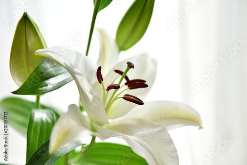 kwitnący kwiat lilii i bud