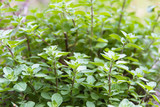 detail of oregano plants in the organic garden - 201459145