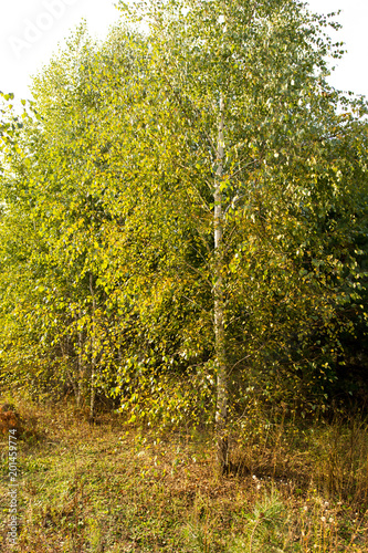Birches in the open air in the forest - 201459774