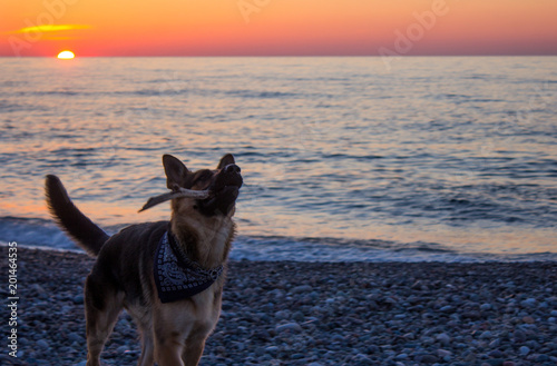 The dog is playing with a stick on the beach. Orange sunset at the Black Sea. Wonderful German Shepherd with bandana