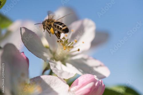 Bee on a gentle white flowers of cherry tree - prunus cerasus - 201468325