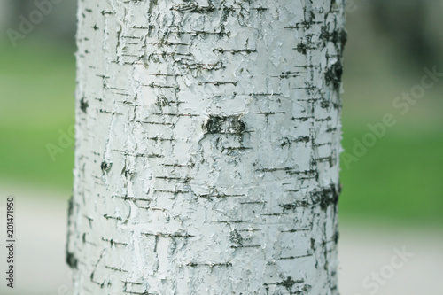 stock-photo-white-bark-birch-tree - 201471950