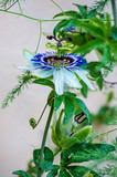 Passionflower flowers in the summer garden.