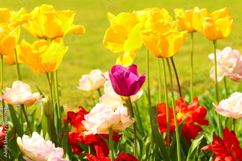 Plexiglas Lente Colorful tulips in Botanical garden, Zagreb, Croatia
