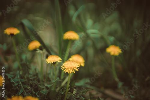 Yellow dandelions in spring