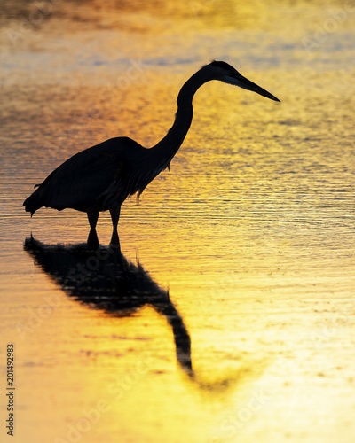 Silhouette of a Great Blue Heron wading in a pond - Florida
