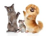 Dancing pets Burma cat, Pekingese dog and rat on a white bacground  - 201497933