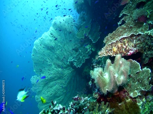 Coral reef with giant gorgonian sea fan