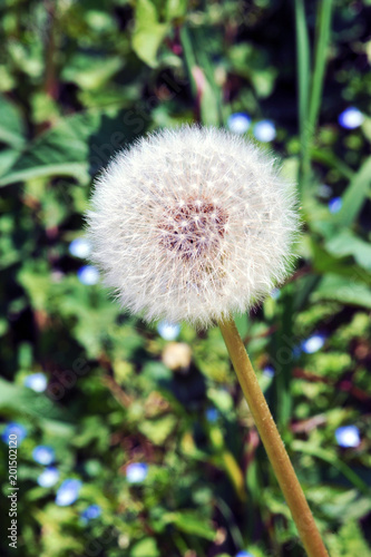 Beautiful dandelion with refelective background - 201502120