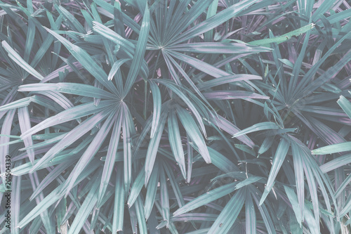 tropical leaf texture,  palm foliage nature green background - 201504339