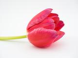 Tulpe rot freigestellt