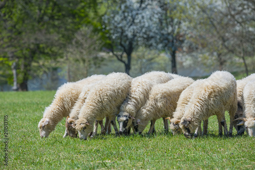 Foto Murales a flock of sheep on a spring meadow