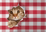 British cat looking through hole in paper picnic tablecloth