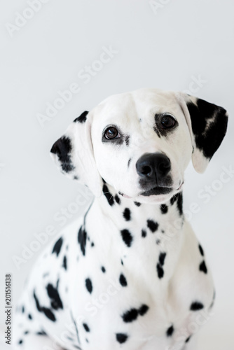 one cute dalmatian dog isolated on white