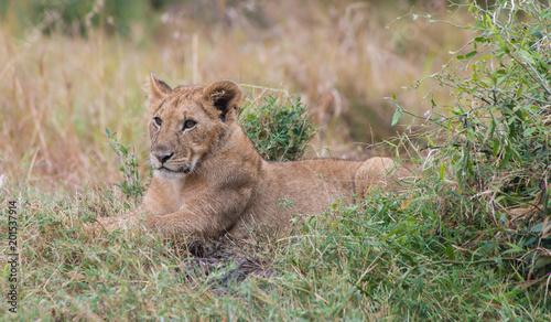Lions in Maasai Mara Kenya