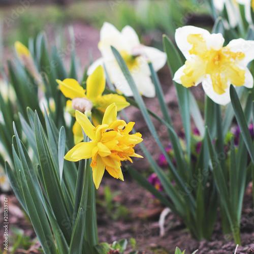 Irysy. Kwiaty w ogrodzie z bliska. Wiosna