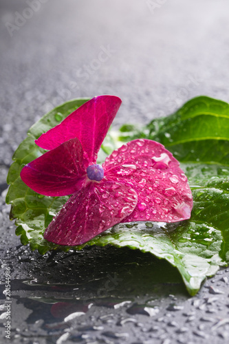 Plexiglas Hydrangea Purple hydrangea flower with a leaf, macro, isolated, with waterdrops, top view