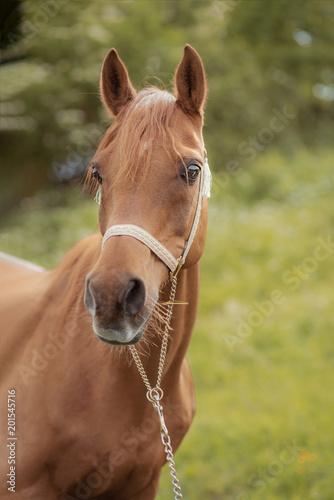 Plexiglas Paarden Portrait von Pferd im Sommer auf einer Koppel